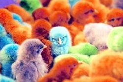 Разноцветные цыплята пользуются популярностью (фото)