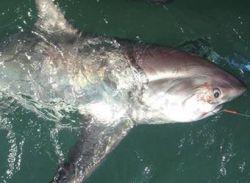 Рыбаки поймали гигантскую акулу себе в убыток
