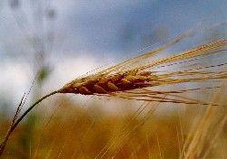Мировые цены на пшеницу достигли рекордного уровня
