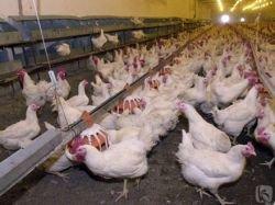 Вспышку птичьего гриппа обнаружили в Германии