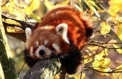 В Китае нашли большую окаменевшую панду