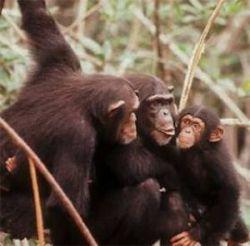Шимпанзе оказались не такими близкими родственниками человека, как считалось