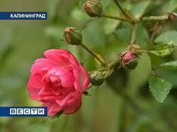 В Калининграде — необычное явление природы: в середине декабря распустились цветы