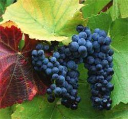 Европа будет производить меньше вина