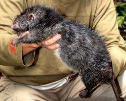 """В \""""затерянном мире\"""" найдены гигантские крысы"""