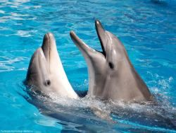 Новость на Newsland: Дельфины помнят старых друзей