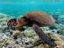 Новость на Newsland: Австралийские черепахи начали есть вдвое больше пластика