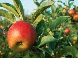 Новость на Newsland: Россельхознадзор выявил 250 тонн некачественных яблок