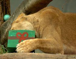 Как готовятся к Новому году в сиднейском зоопарке (фото)