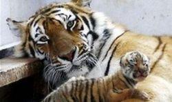 Амурскому тигру отрубили голову в китайском зоопарке
