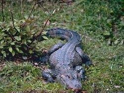 Новость на Newsland: Поиски крокодила в Екатеринбурге все еще продолжаются