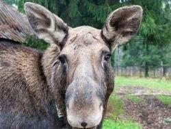 Новость на Newsland: Пьяные лоси не пустили шведа домой