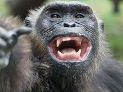 Новость на Newsland: Победитель в арт-конкурсе среди шимпанзе получил 10 тысяч