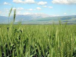 Новость на Newsland: Польза и противопоказания пророщенной пшеницы