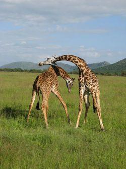 Ученые разделили жирафов на шесть видов