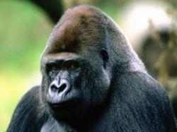 В Руанде введен налог на изображение горной гориллы