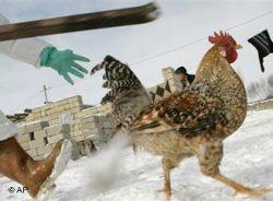 Медики: ситуация с птичьим гриппом в Ростовской области нормализовалась