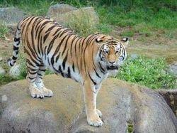 В зоопарке Сан-Франциско вырвавшиеся на свободу тигры убили человека