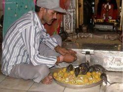 Karnimata - всемирно известный индийский храм крыс (фото)