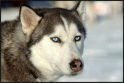 Галерея интересных фото с собаками породы хаски (фото)