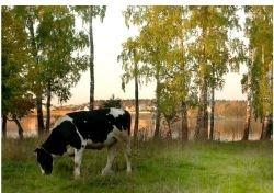 Российские ученые разработали ошейники для коров
