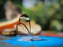 Новость на Newsland: Амазонские бабочки пьют слёзы и мочу плотоядных животных