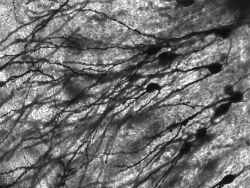 Зеркальные нейроны отвечают за изучение языков