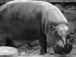 В зоопарке Калининграда насмерть задавили карликового бегемота