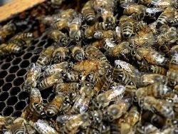 Пестициды снижают трудоспособность пчёл и вынуждают улей голодать