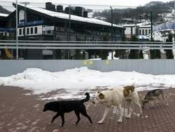 В Сочи началась охота на  олимпийских  собак