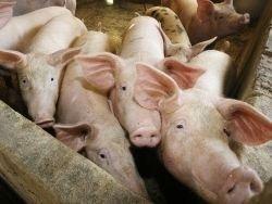 Польша добивается компенсации из-за запрета экспорта свинины