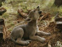 Новость на Newsland: В Испанию вернулись волки: экологи рады, фемеры - нет