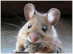 Почему человек не схож с мышью?