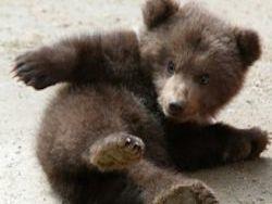 США: медвежонка, покусавшего студентов, не будут убивать