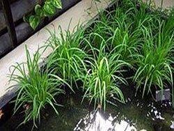 Урожай риса в Крыму полностью погиб из-за нехватки воды