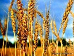 Новость на Newsland: Мировые цены на пшеницу обновили минимум за 4 года