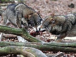 zoologi-dokazali-demokratichnost-volkov-i-avtoritarizm-sobak