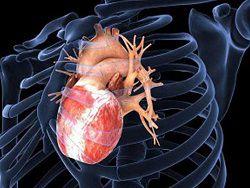 Новость на Newsland: Американцам удалось вырастить новое сердце из стволовых клеток