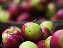 Новость на Newsland: Поляки собираются отправить российским школьникам 5 фур яблок