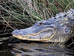 Новость на Newsland: В США поймали самого большого аллигатора в мире