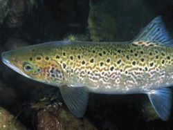 Новость на Newsland: В Калужской области начинают выращивать лосось и форель