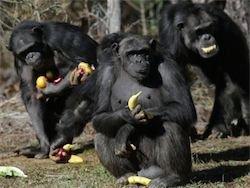 Новость на Newsland: Суд Нью-Йорка рассмотрит право шимпанзе на личную свободу
