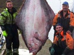 Новость на Newsland: В Норвегии пойман рекордный палтус