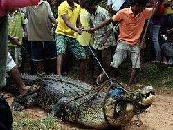 Россельхознадзор разрешил ввозить мясо крокодилов