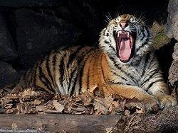 Новость на Newsland: На севере Приморского края объявился тигр-людоед