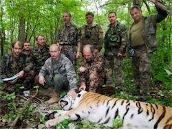 Новость на Newsland: Путинский бродячий тигр Кузя, наевшись в Китае, вернулся в РФ