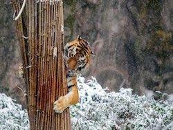 На дальнем востоке перепишут тигров и