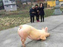 Новость на Newsland: Молящаяся у храма свинья укрепила веру китайцев в перерождения