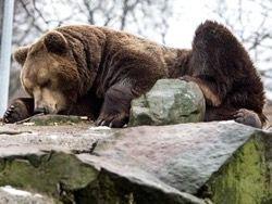 Давившие медведя джипом жители Курил задержаны