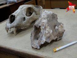 На Урале 30 тысяч лет назад жили гигантские львы